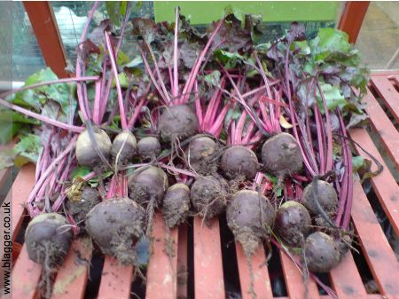 beetroot-growing