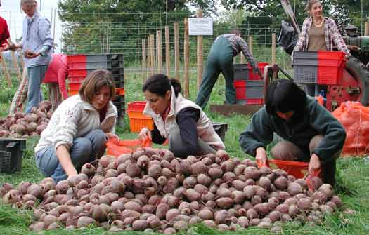 beetroot-harvest