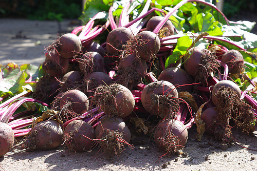 beetroot-picking