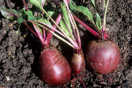 beetroot-soil-prep